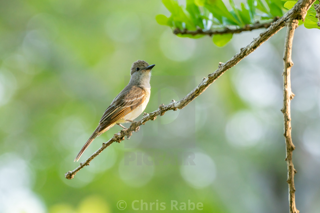 """Yellow-bellied Elaenia (Elaenia flavogaster)"" stock image"