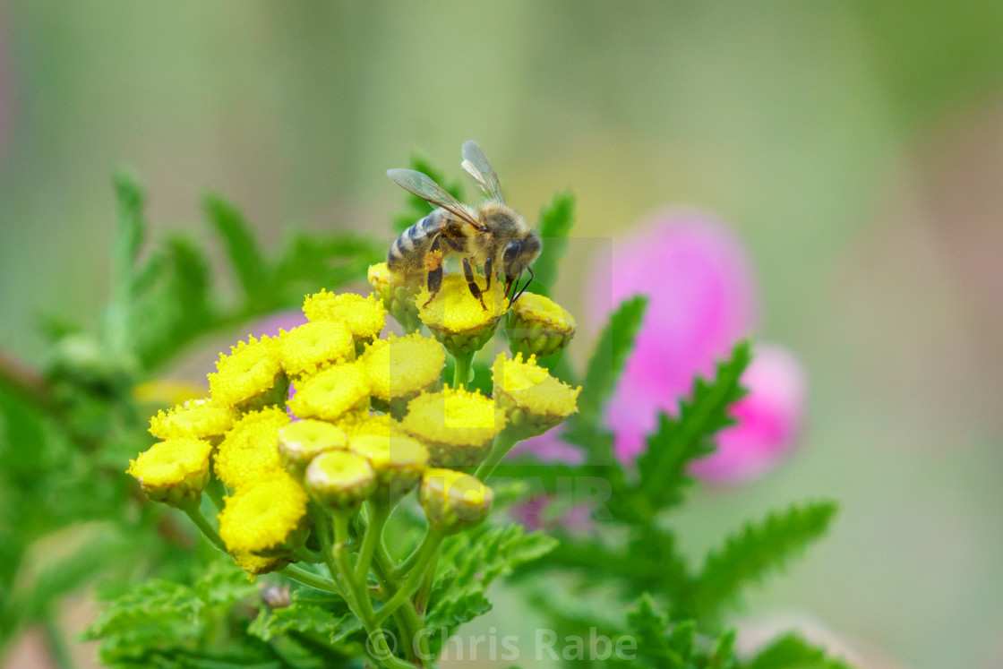 """Leafcutter Bees (Megachilidae) in the UK"" stock image"