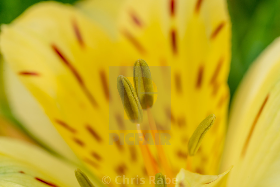 """A Peruvian lily flower in yellow"" stock image"
