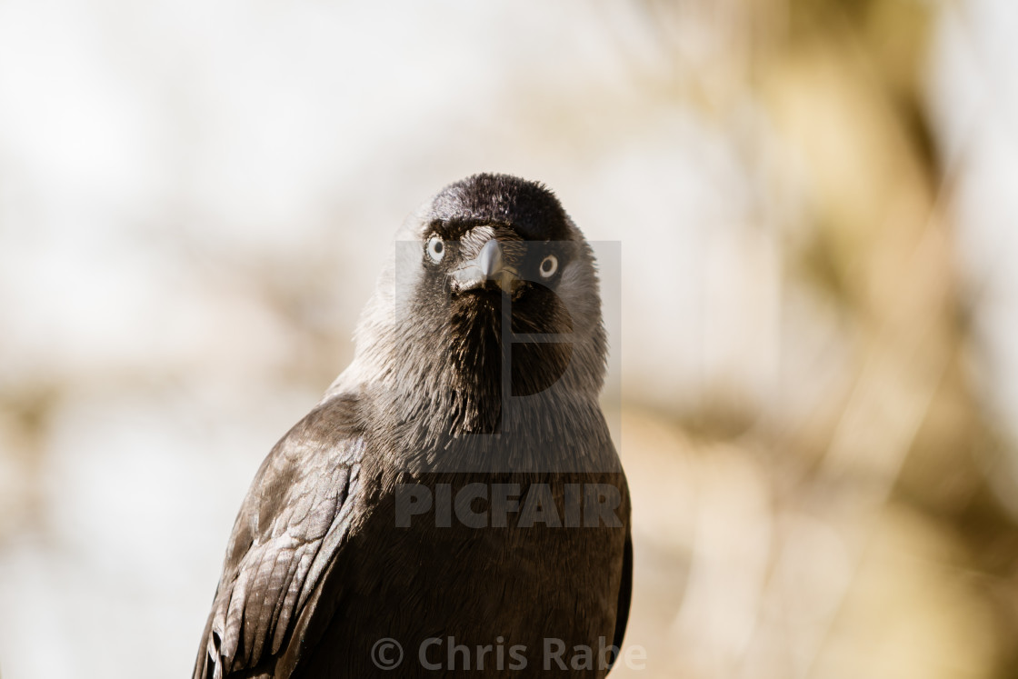 """Jackdaw (Corvus monedula), taken in the UK"" stock image"