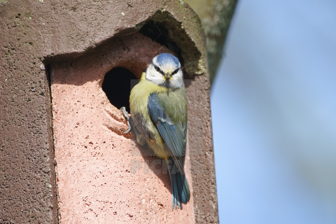 """Blue Tit (Cyanistes caeruleus), taken in the UK"" stock image"