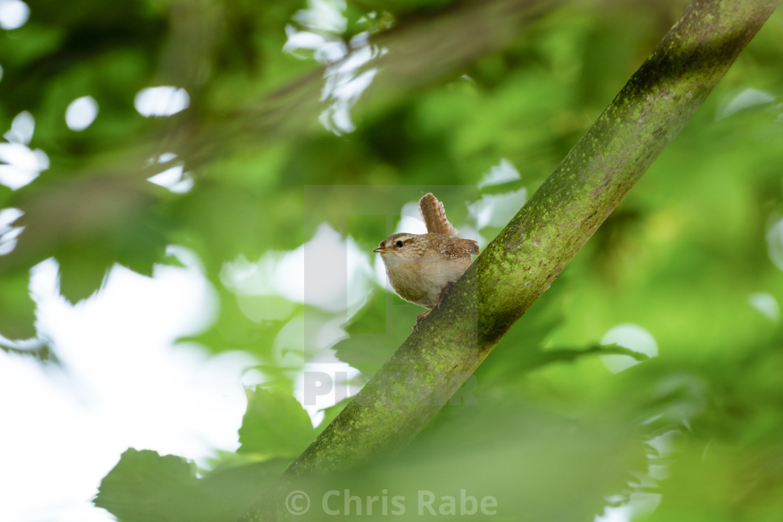"""Wren (Troglodytes troglodytes) perched, taken in the UK"" stock image"