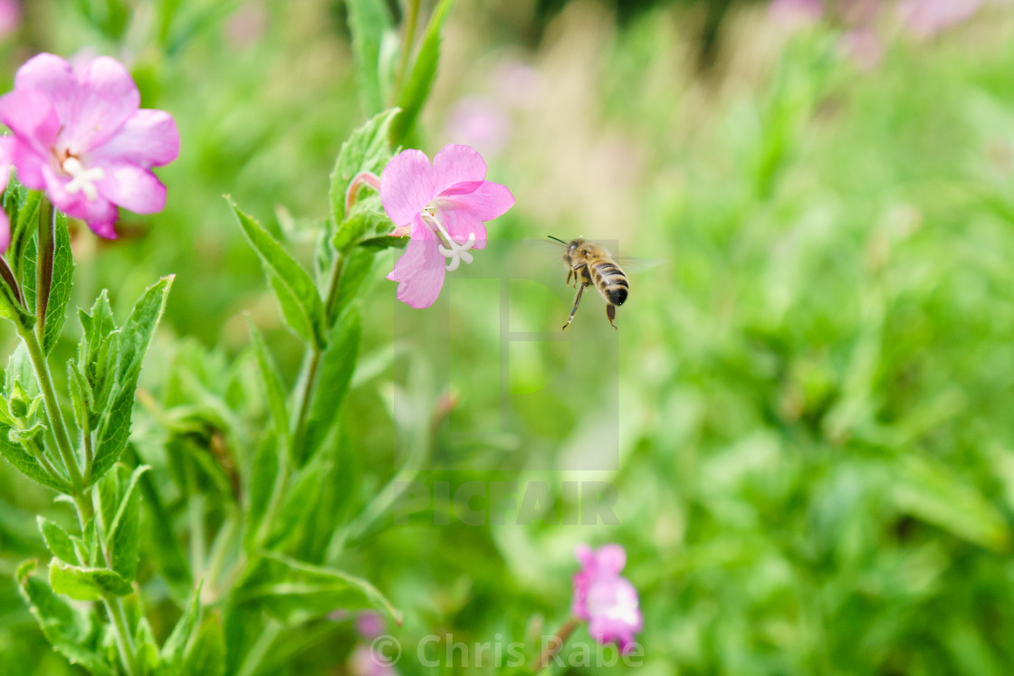 """Honeybee (Apis mellifera) in the UK"" stock image"