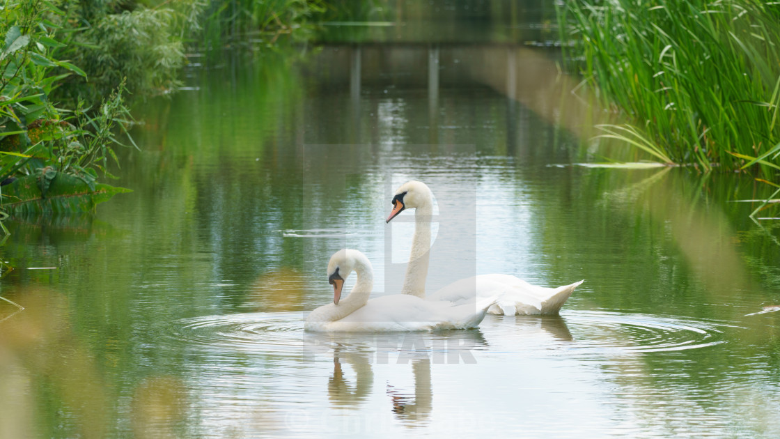 """Mute swan (Cygnus olor), taken in the UK"" stock image"
