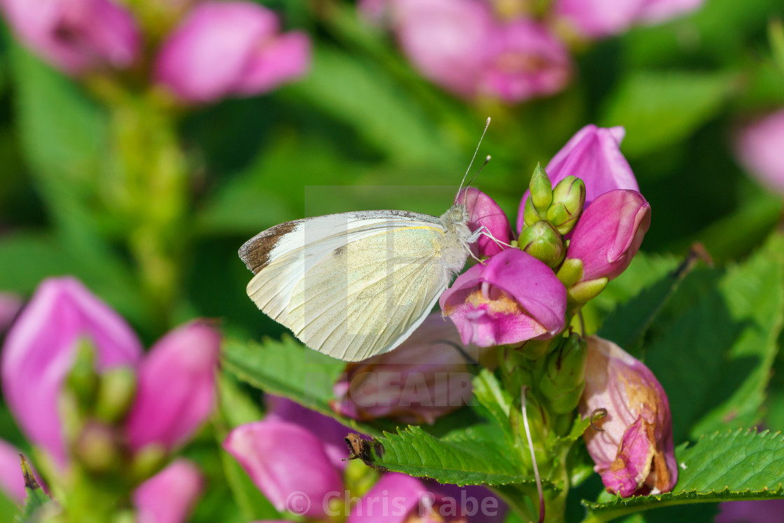 """Large White butterfly (Pieris brassicae), UK"" stock image"