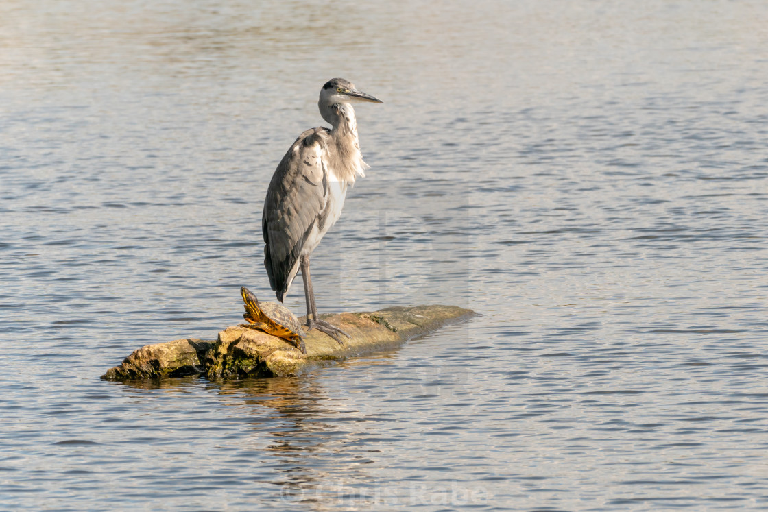 """Grey Heron (Ardea cinerea)"" stock image"