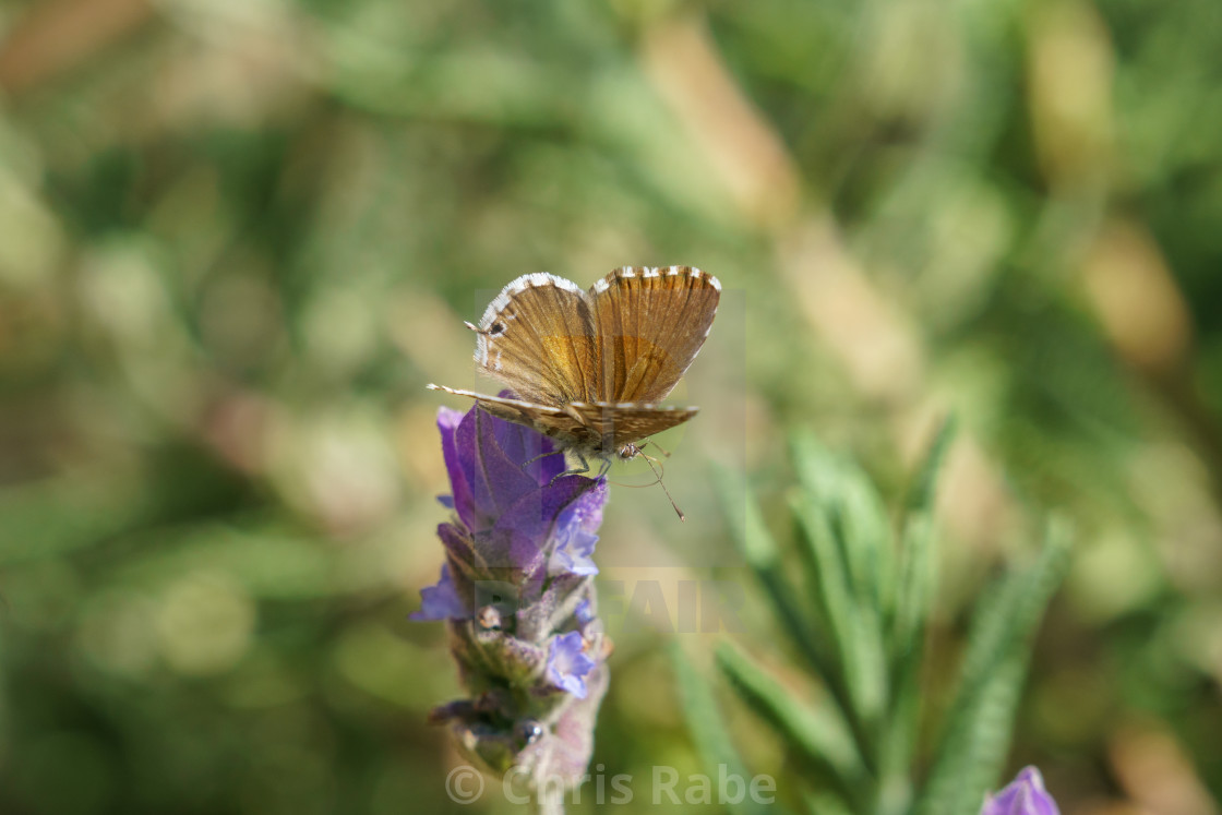 """Geranium Bronze Butterfly(Cacyreus marshalli), South Africa"" stock image"