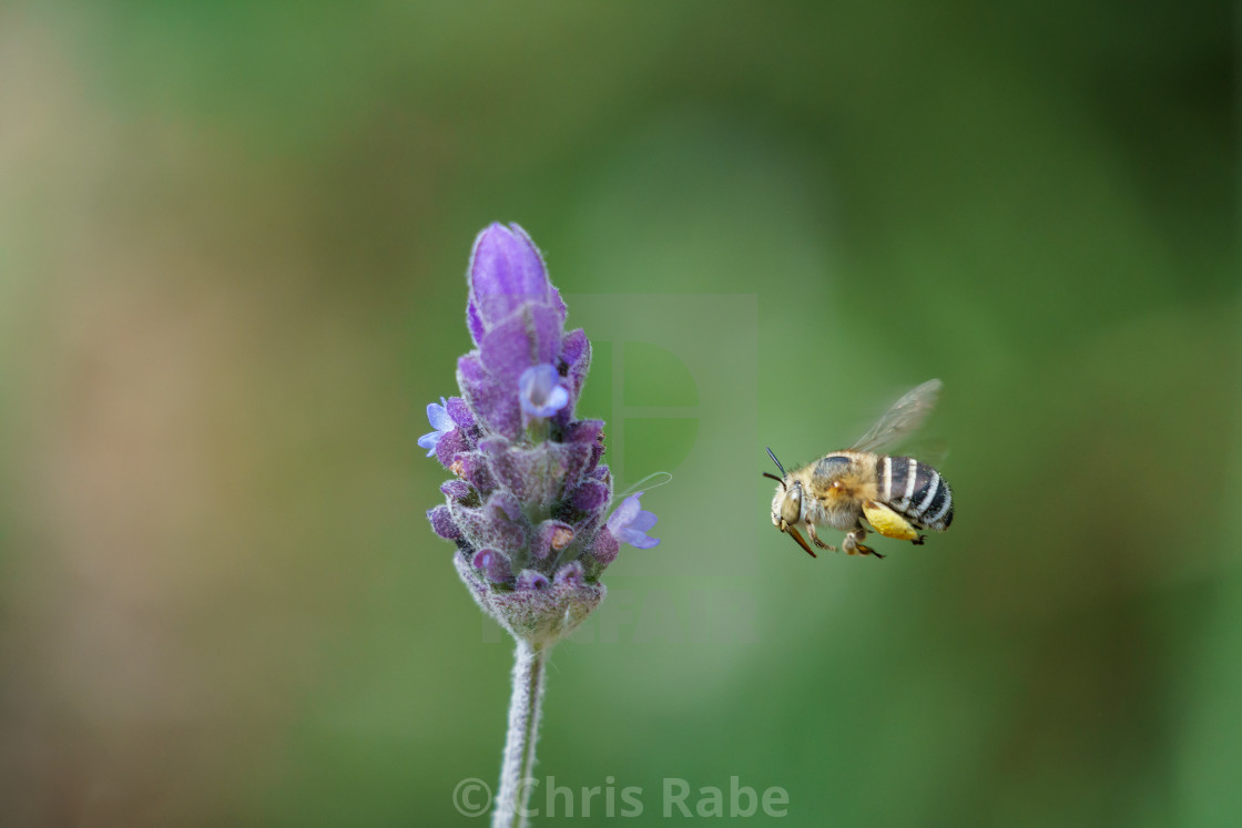 """Amegilla bee in South Africa"" stock image"