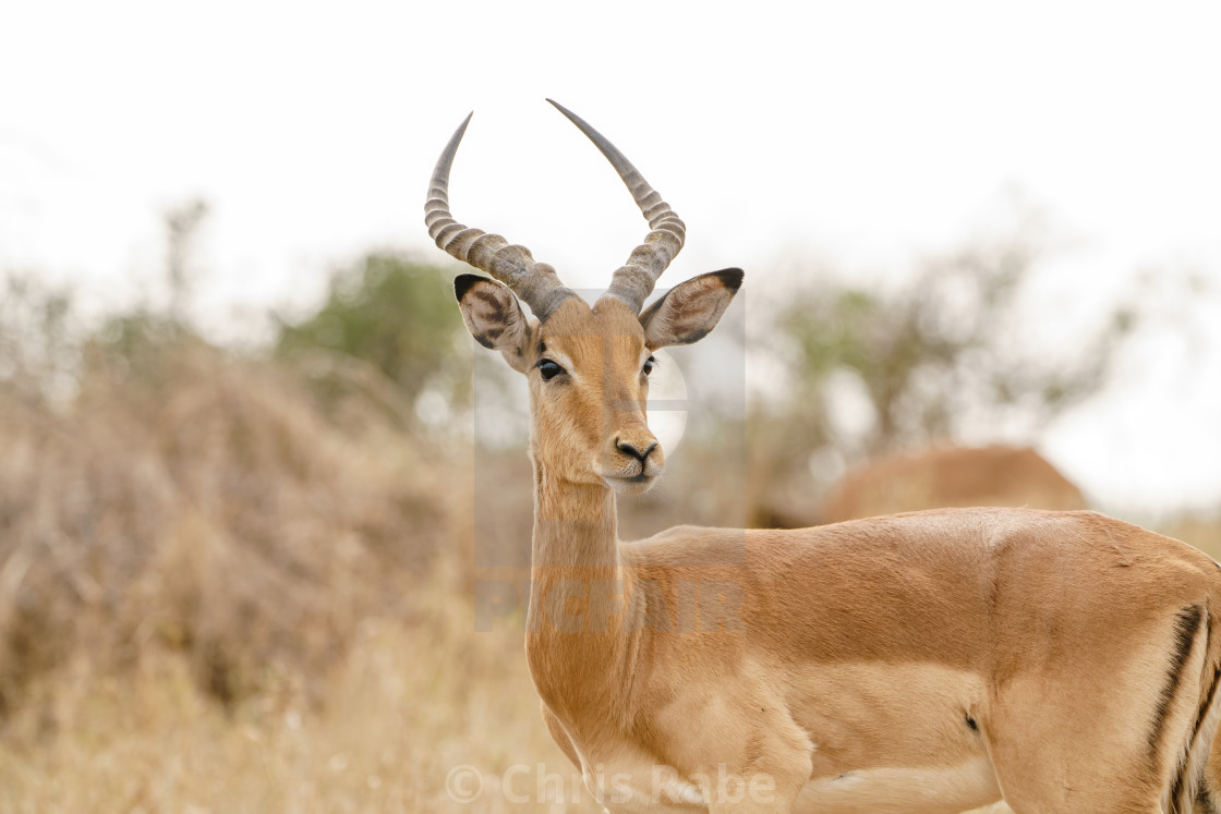 """Impala (Aepyceros melampus) in Kruger Park, South Africa"" stock image"