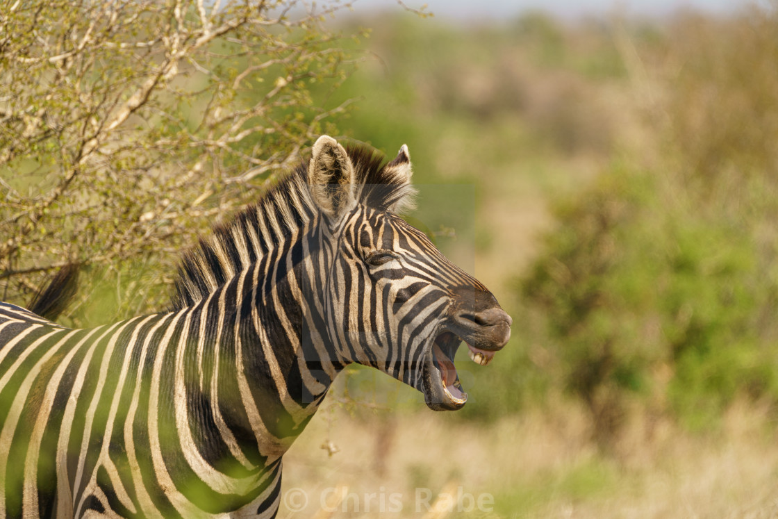 """Zebra (Equus quagga), taken in South Africa"" stock image"