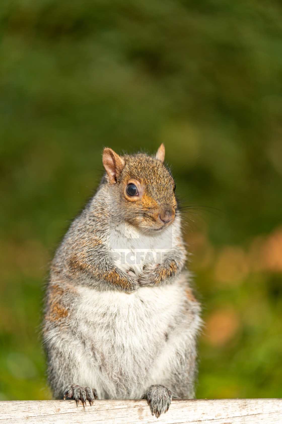 """Gray Squirrel (Sciurus carolinensis) in the UK"" stock image"