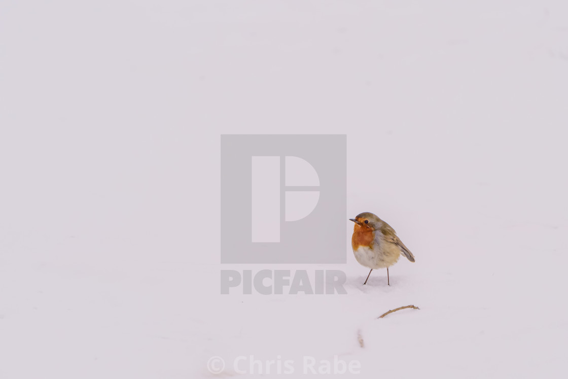 European Robin (Erithacus rubecula) in light snow, taken in the UK