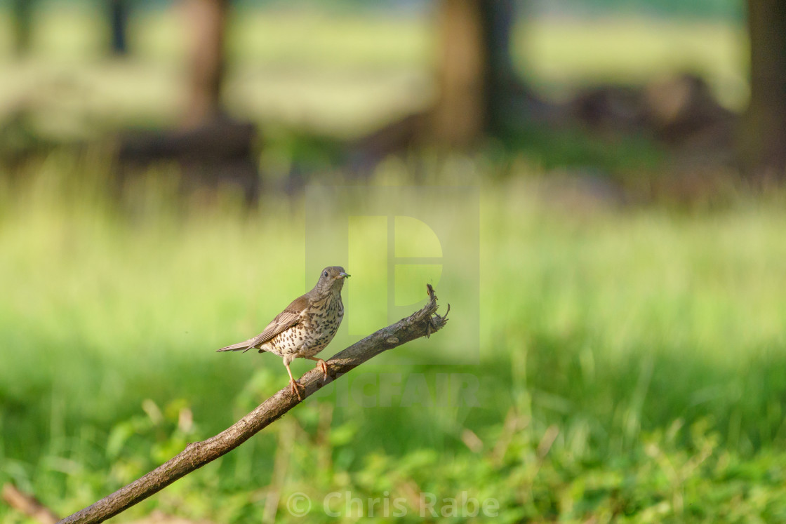 """""""Mistle Thrush (Turdus viscivorus)"""" stock image"""