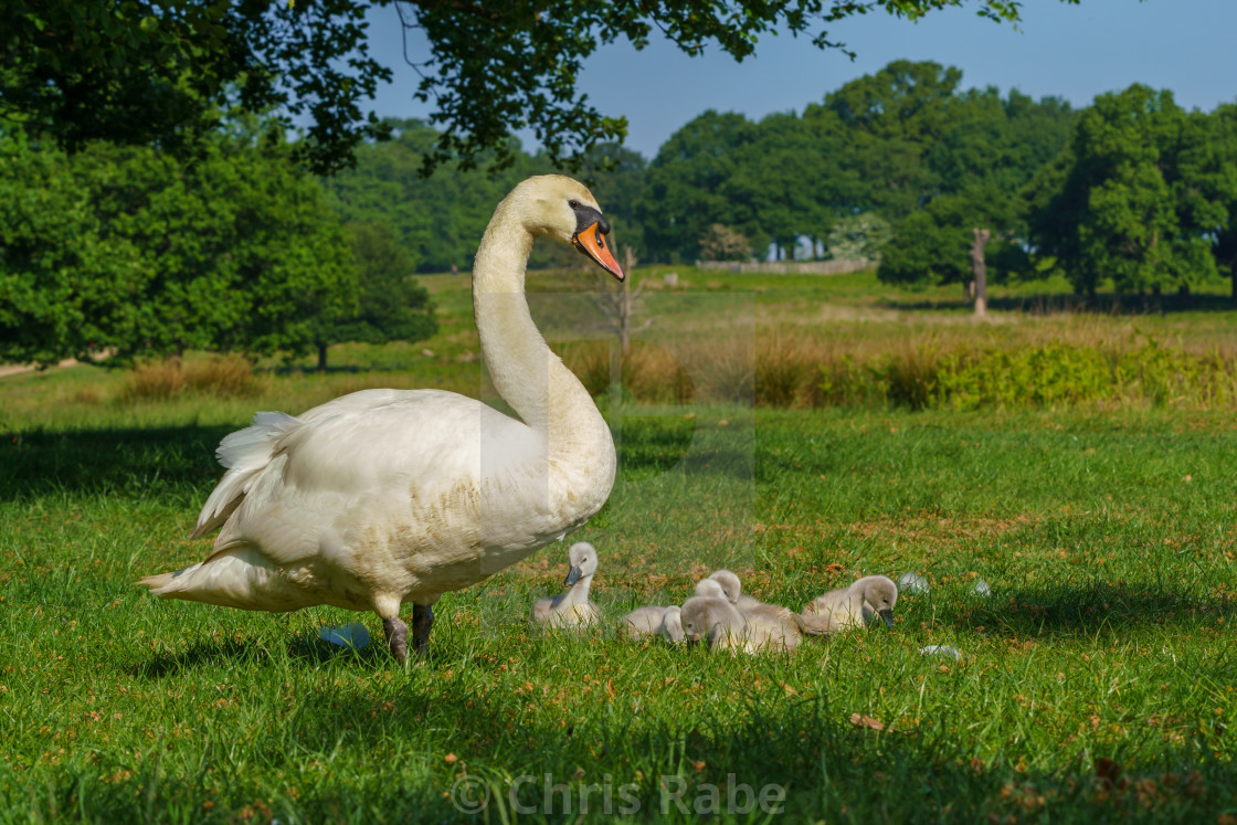 """Mute swan (Cygnus olor) adult with cygnets, taken in the UK"" stock image"