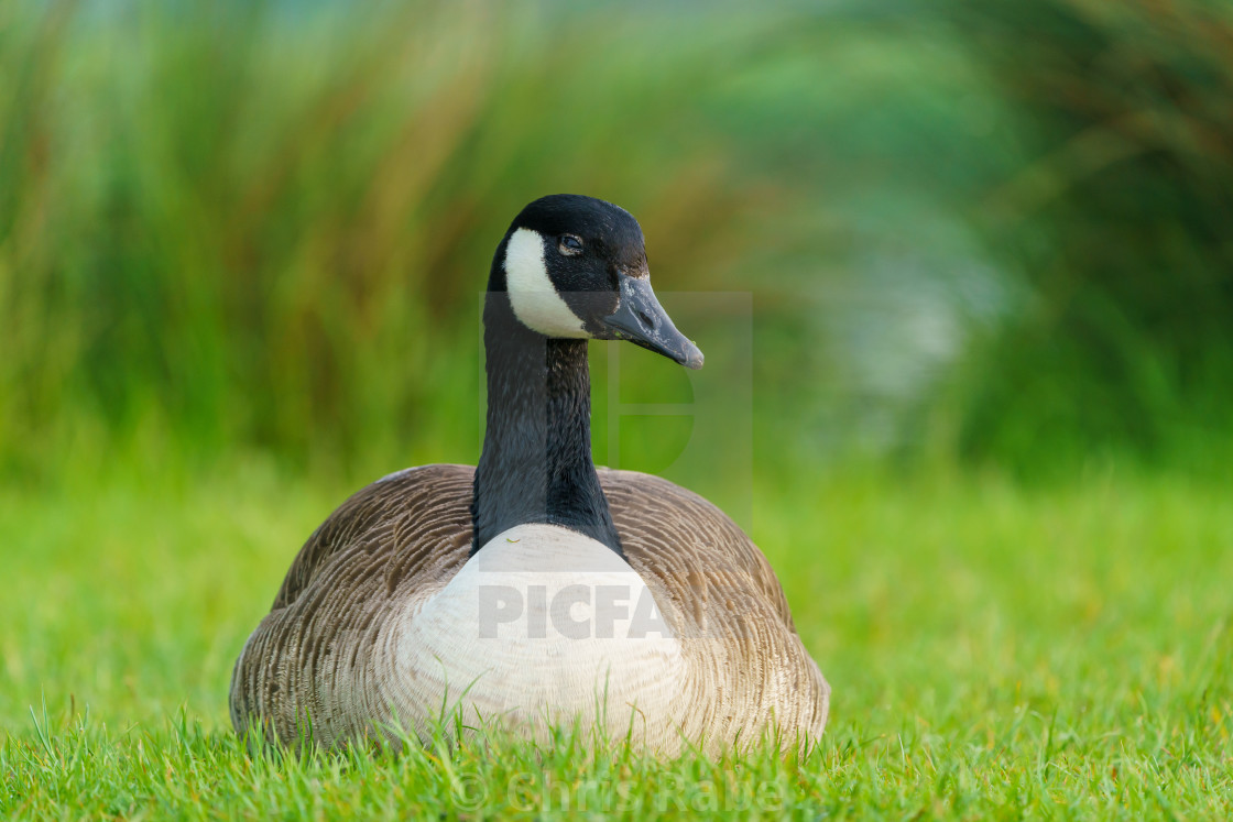 """Canada Goose (Branta canadensis), taken in the UK"" stock image"