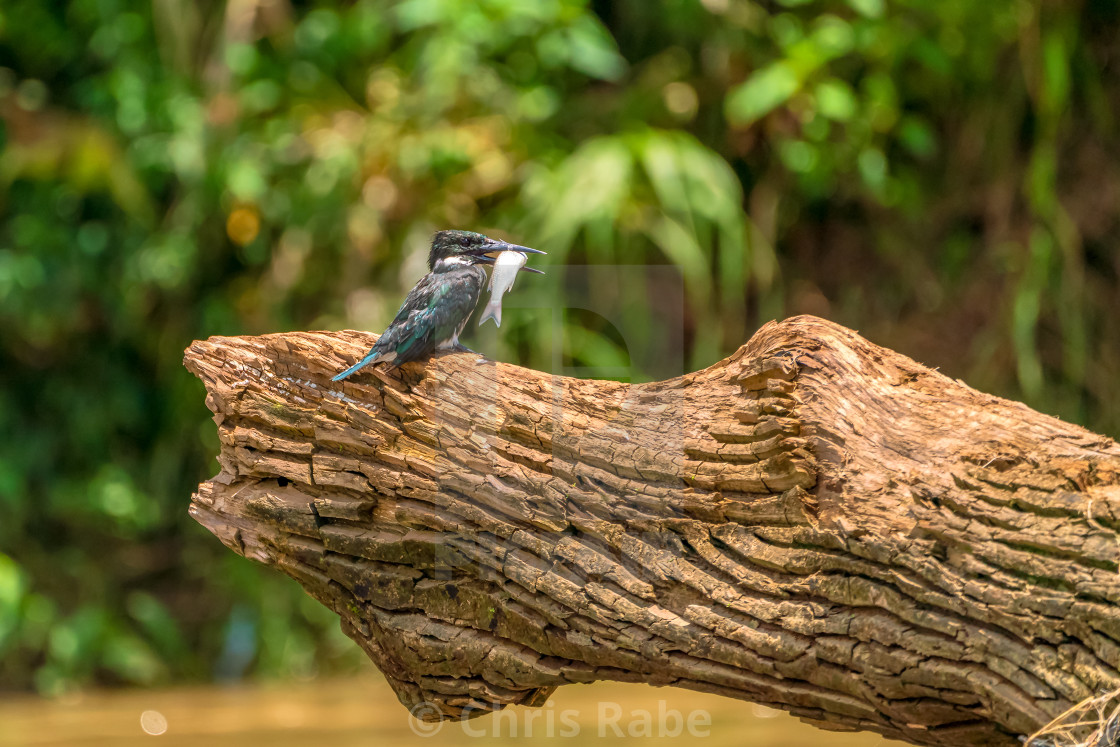 """Amazon Kingfisher (Chloroceryle amazona) in Costa Rica"" stock image"