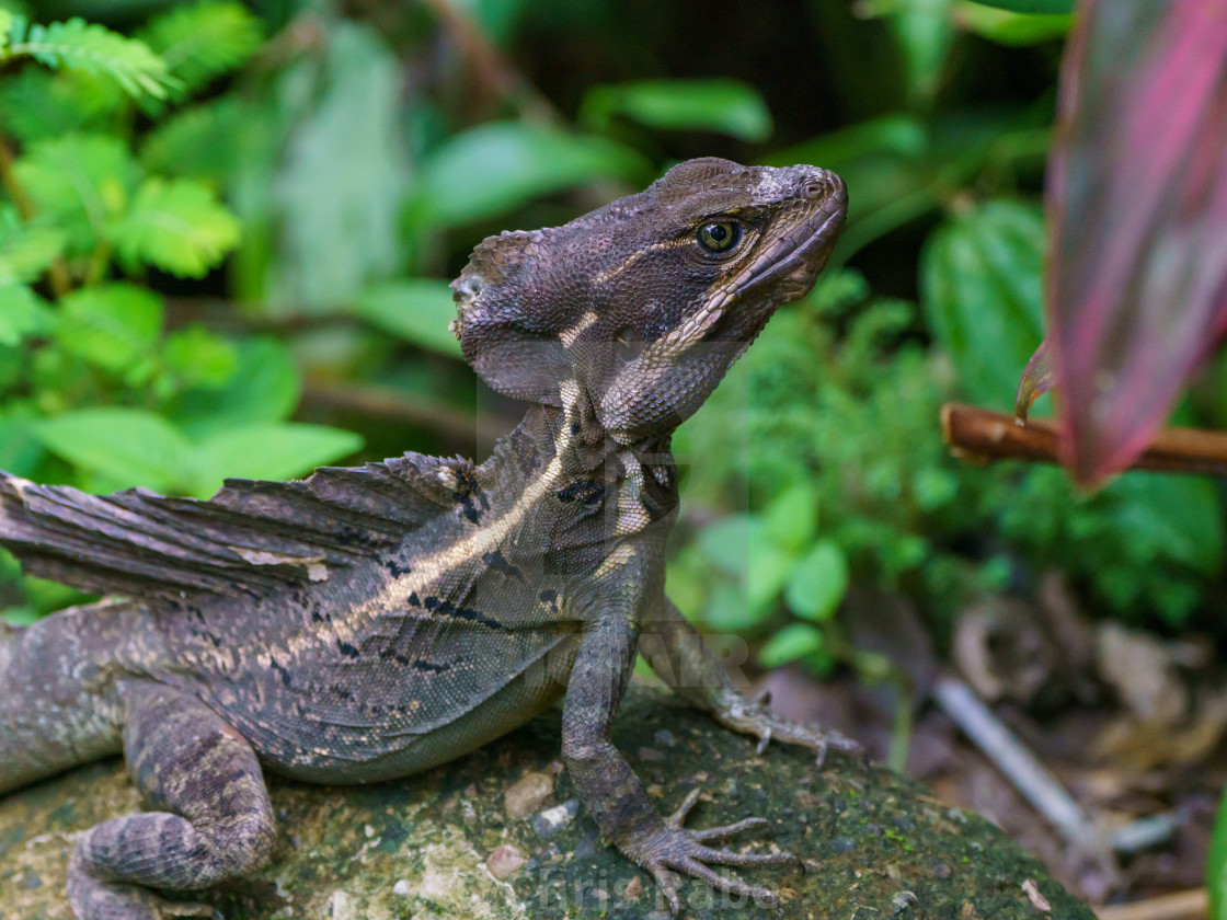"""Brown Basilisk (Basiliscus vittatus) in Costa Rica"" stock image"