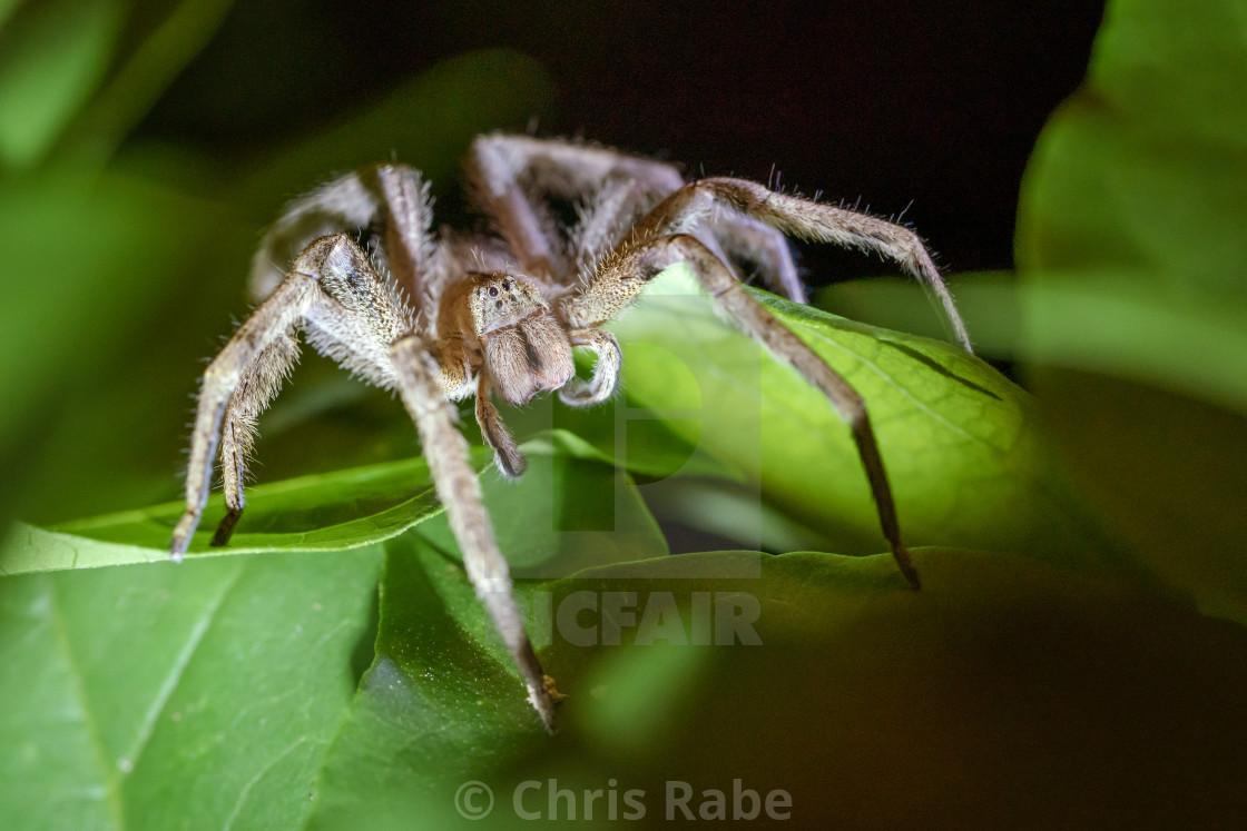 """Brazilian wandering spider (Phoneutria reidyi)"" stock image"