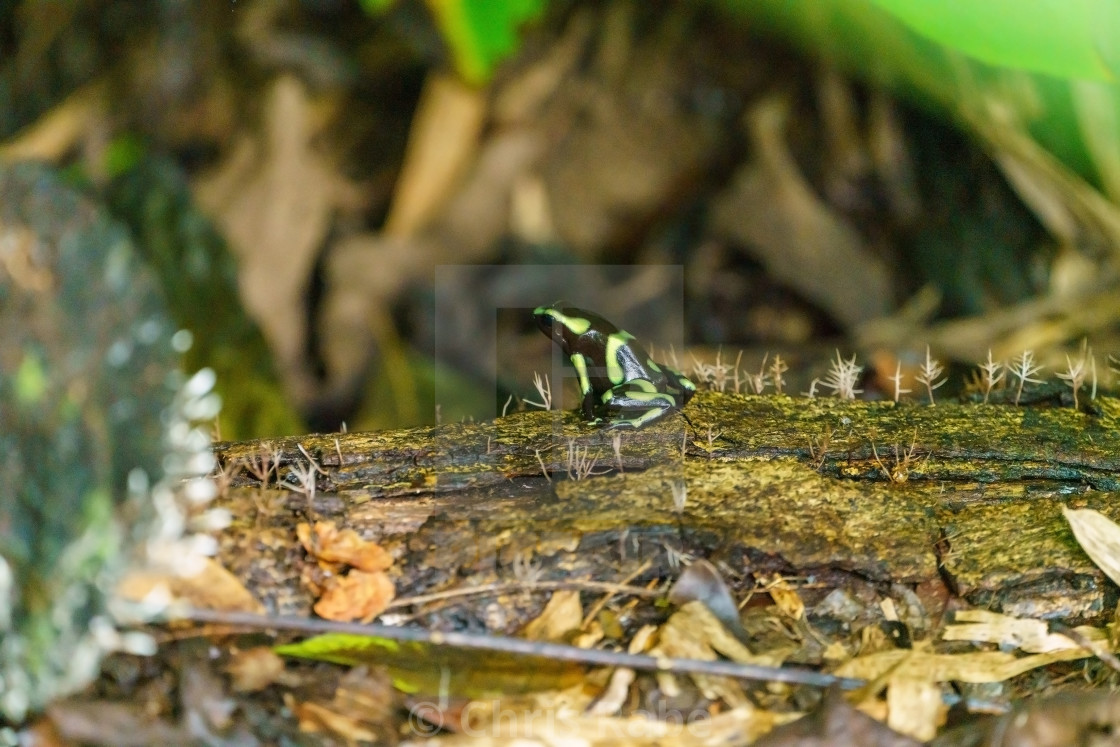 """Green-and-Black Poison Dart Frog (Dendrobates auratus)"" stock image"