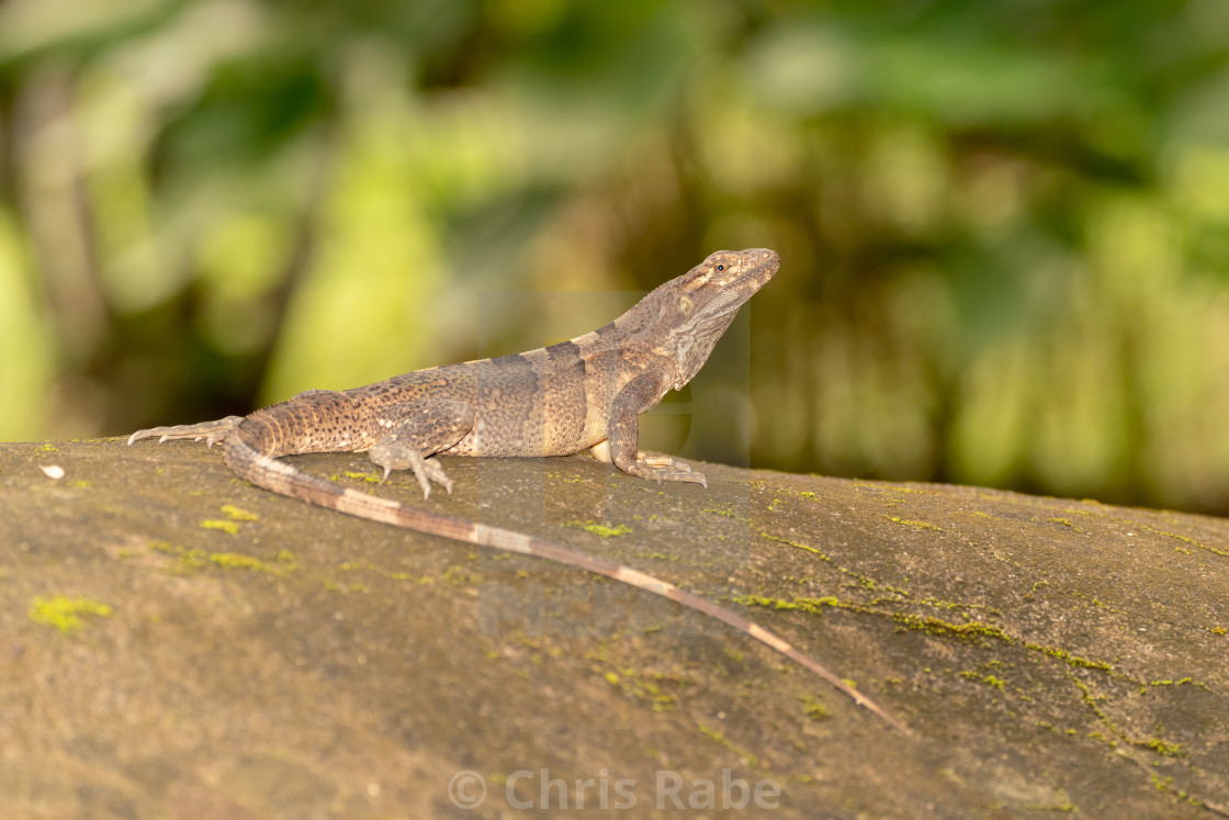 """Black Spiny Tailed Iguana (Ctenosaura similis), taken in Costa Rica"" stock image"