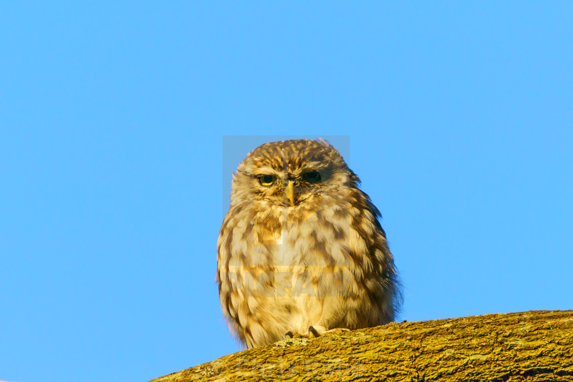 """Little Owl (Athene noctua) against blue background on a lbranch, taken in the UK"" stock image"