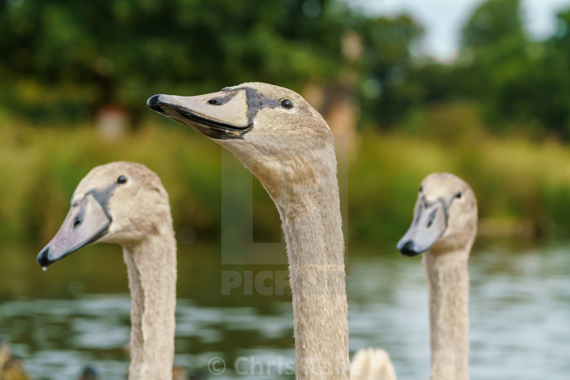 """Mute swan (Cygnus olor) cygnets, taken in the UK"" stock image"