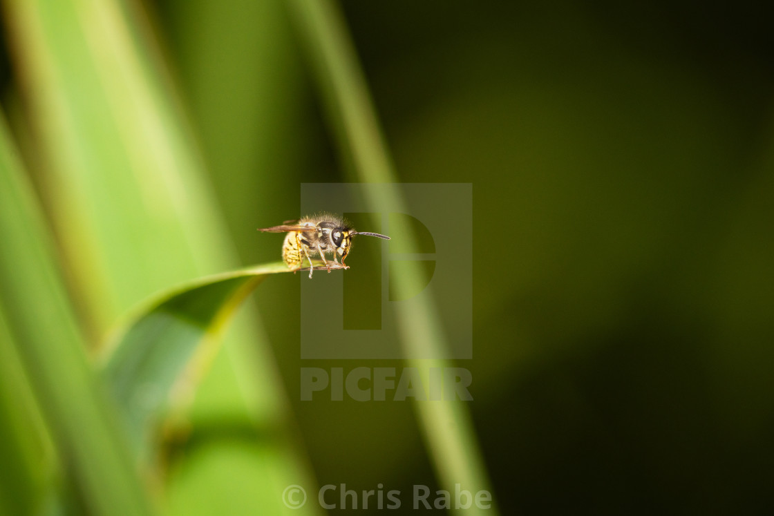 """common wasp (Vespula vulgaris), taken in the UK"" stock image"