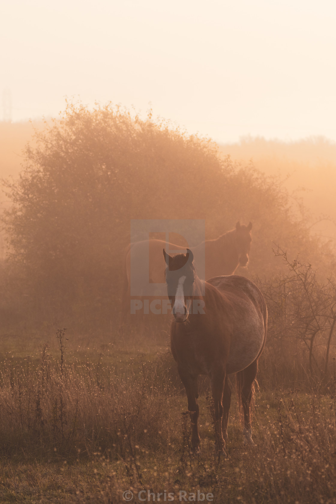 """Horses on a foggy morning in Sussex"" stock image"