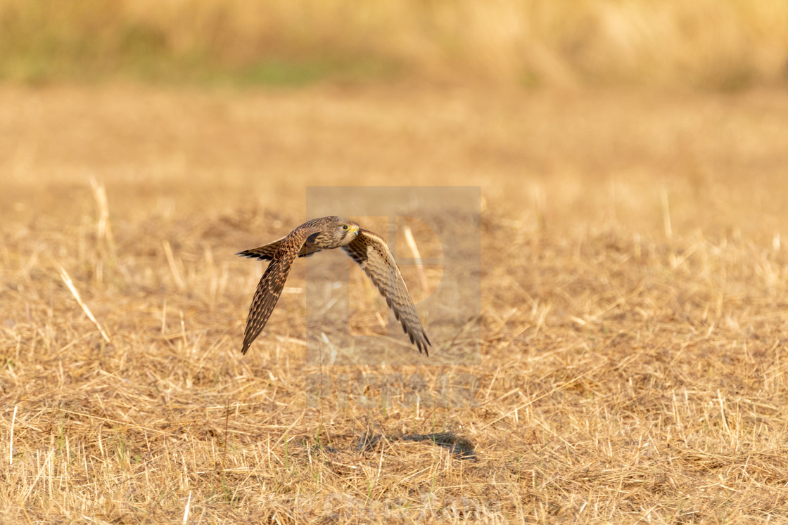 """Common Kestrel (Falco tinnunculus)"" stock image"