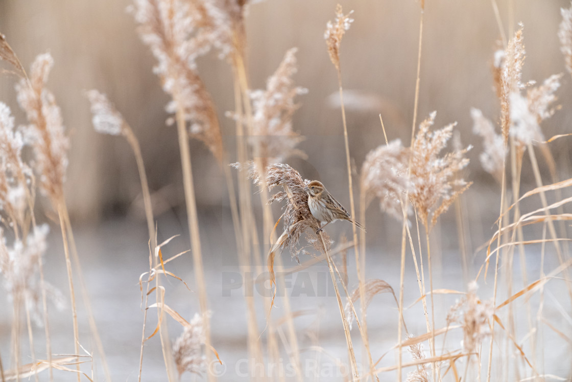 """Reed Bunting (Emberiza schoeniclus) taken in the UK"" stock image"