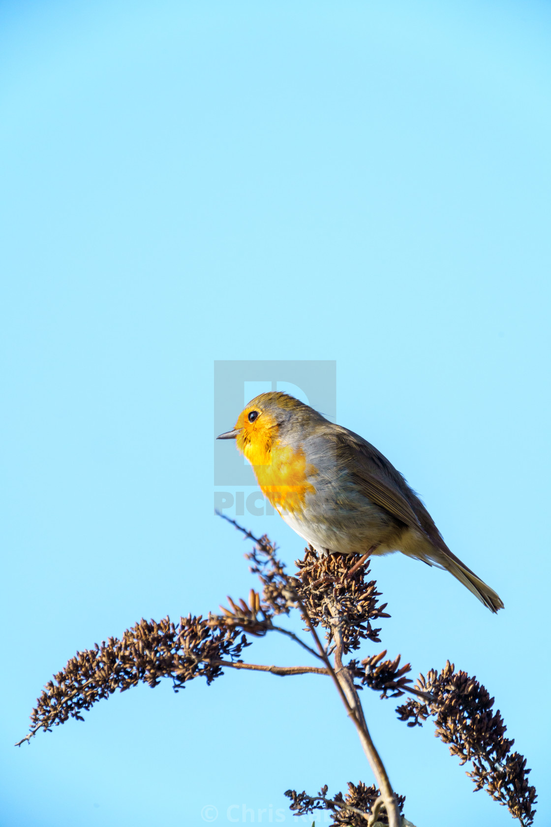 """European Robin (Erithacus rubecula) perched on a bush, taken in the UK"" stock image"