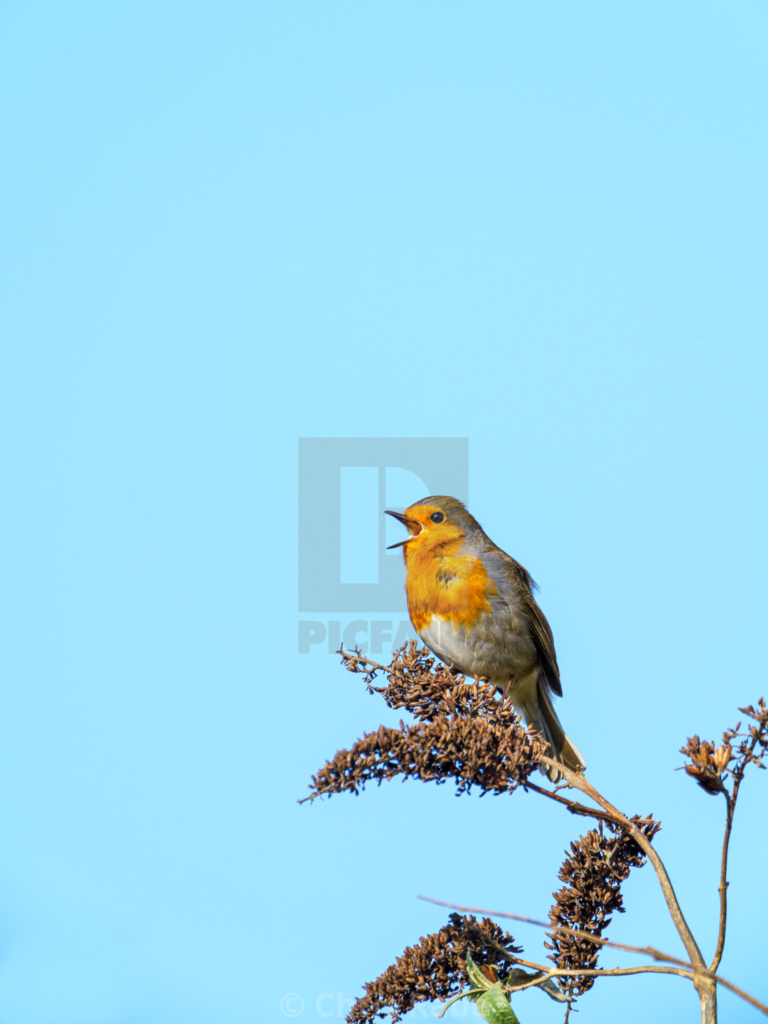 """European Robin (Erithacus rubecula) perched on a bush, singing, taken in the UK"" stock image"