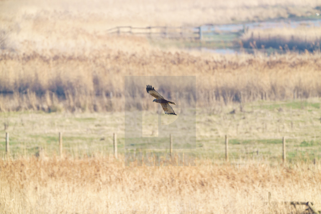 """Marsh harrier (Circus aeruginosus), taken in the UK"" stock image"
