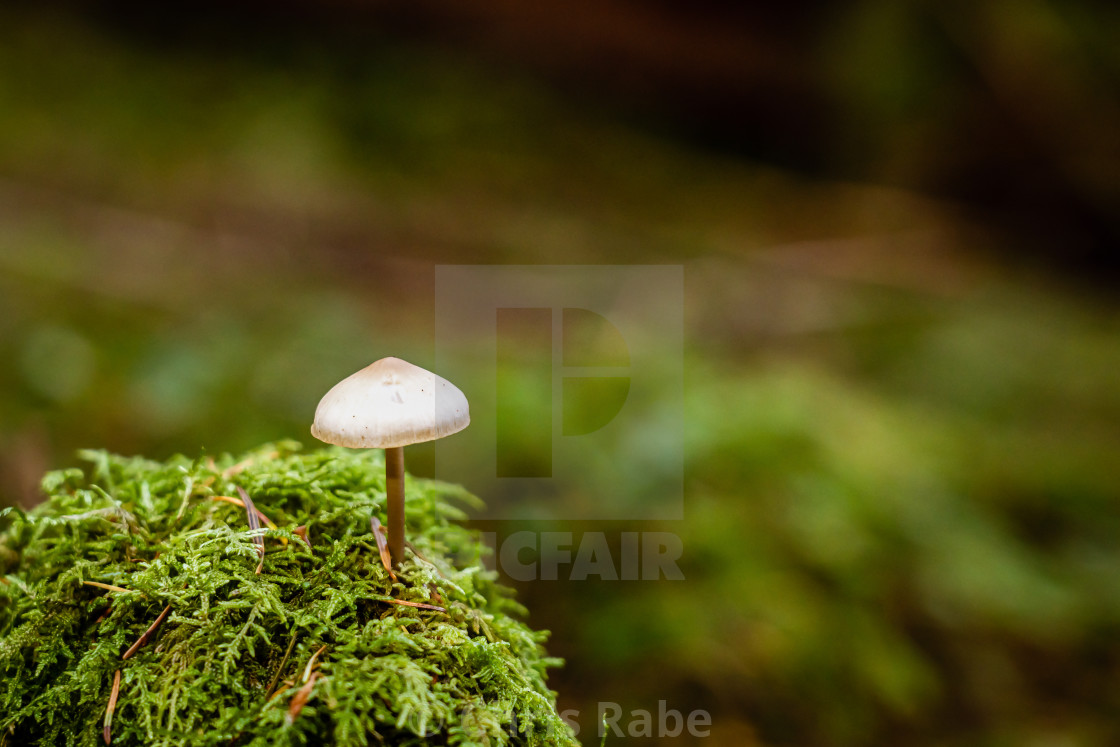"""Wild Liberty cap mushroom isolated"" stock image"