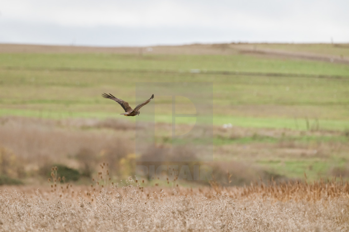 """Marsh harrier (Circus aeruginosus)"" stock image"