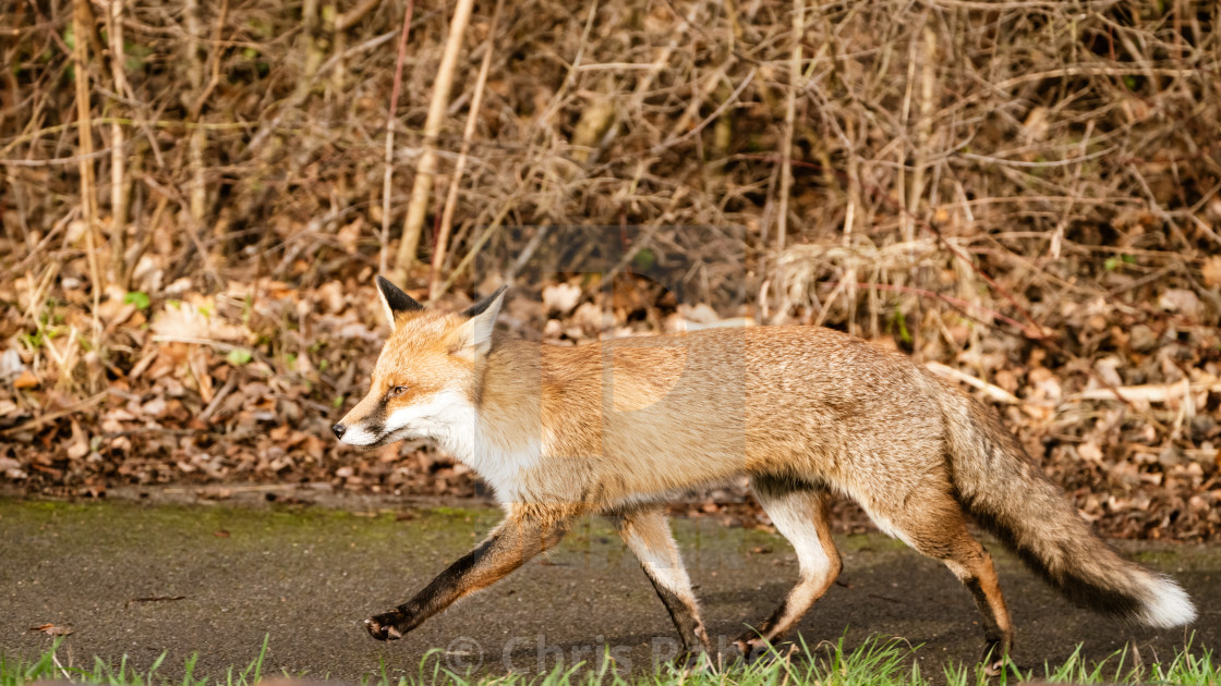 """Red Fox (Vulpes vulpes), taken in the UK"" stock image"