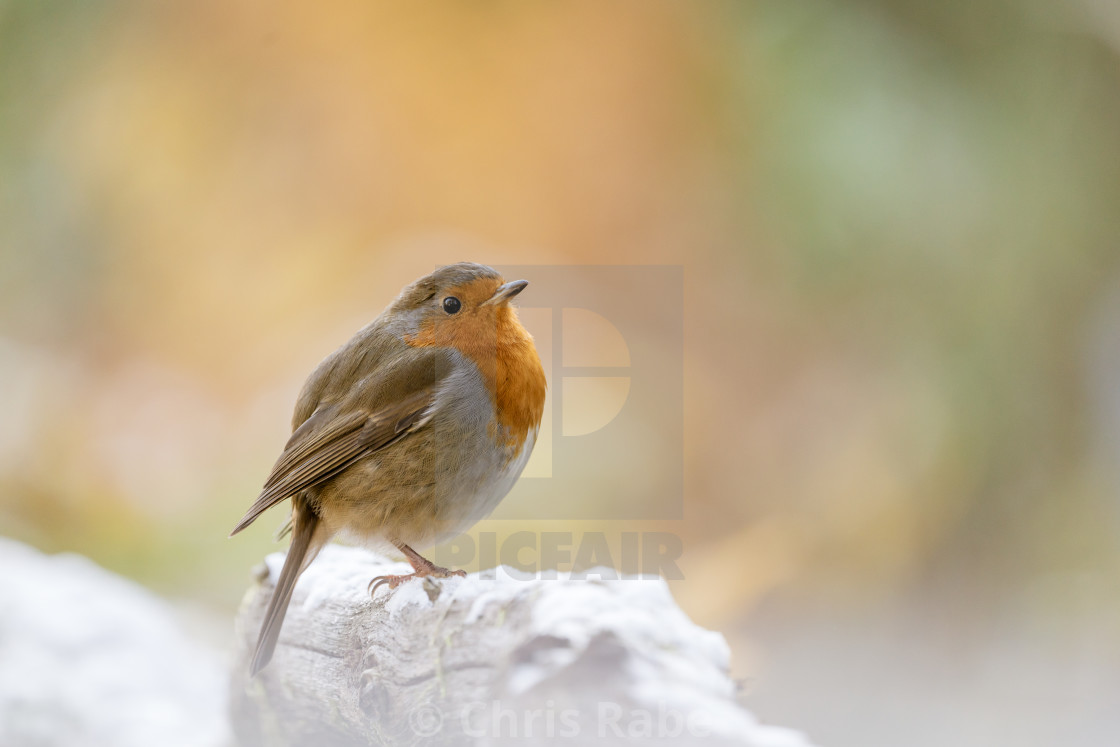 """European Robin (Erithacus rubecula) in light snow, taken in the UK"" stock image"