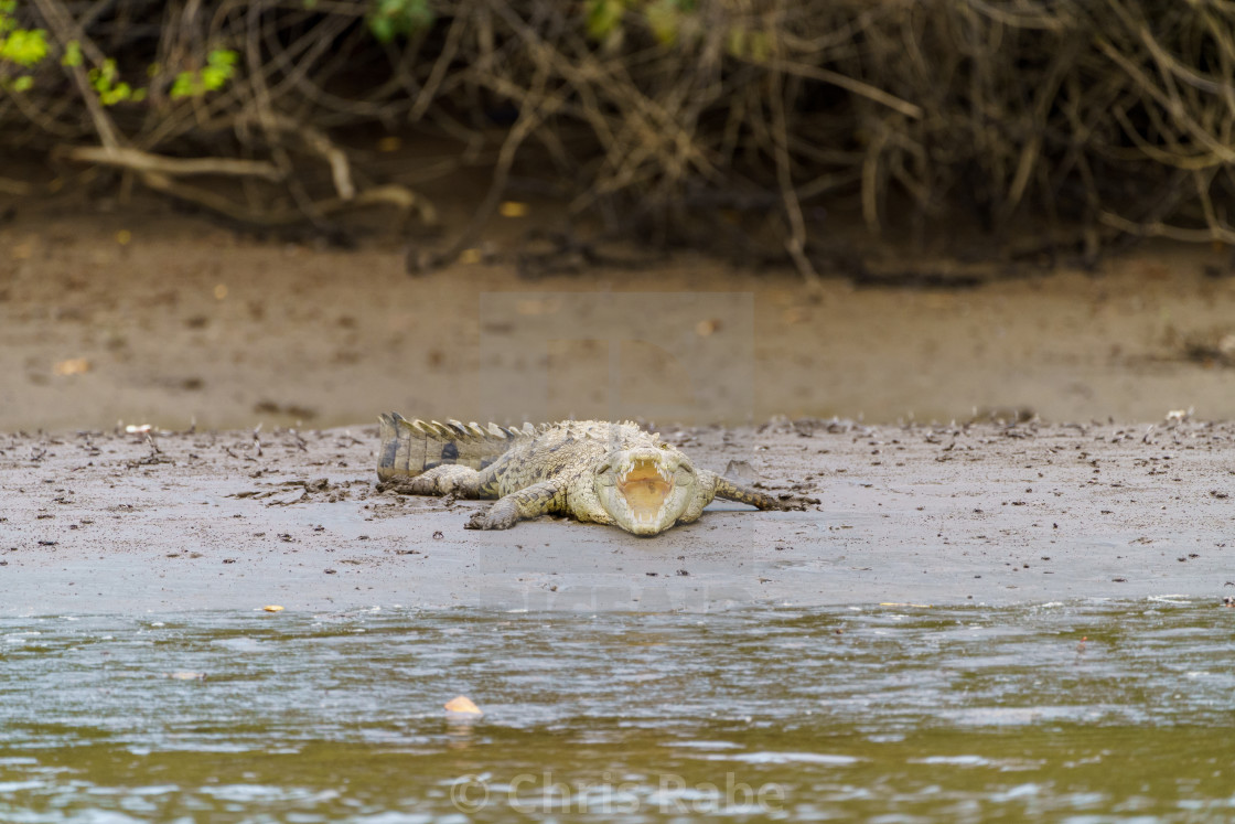 """American Crocodile (Crocodylus acutus), taken in Costa Rica."" stock image"