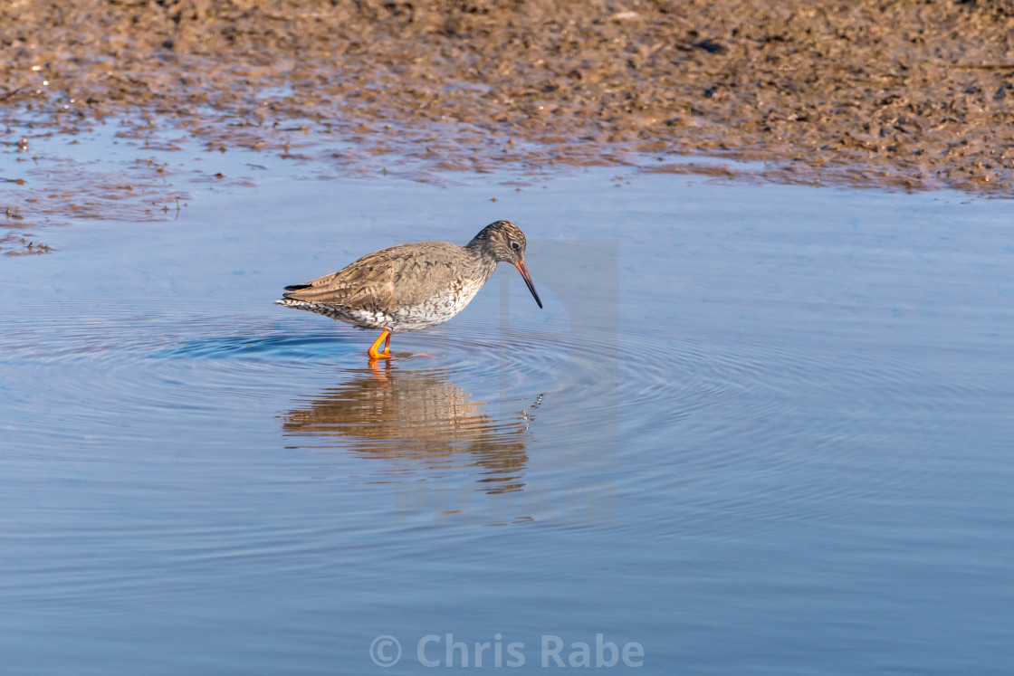 """Redshank (Tringa totanus) wadi9ng through water, taken in the UK"" stock image"