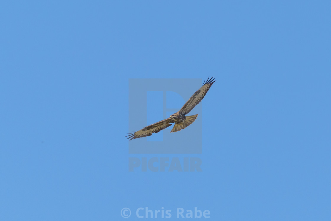 """Common Buzzard (Buteo buteo), taken in the UK"" stock image"