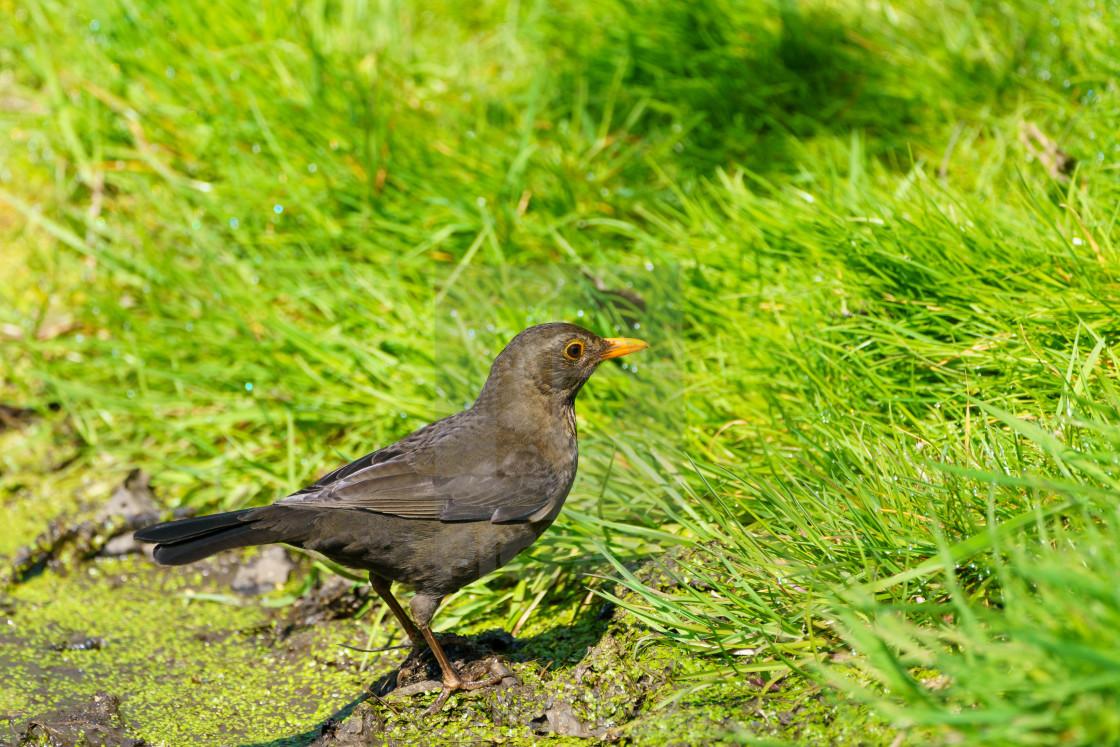 """Blackbird (Turdus merula), taken in the UK"" stock image"