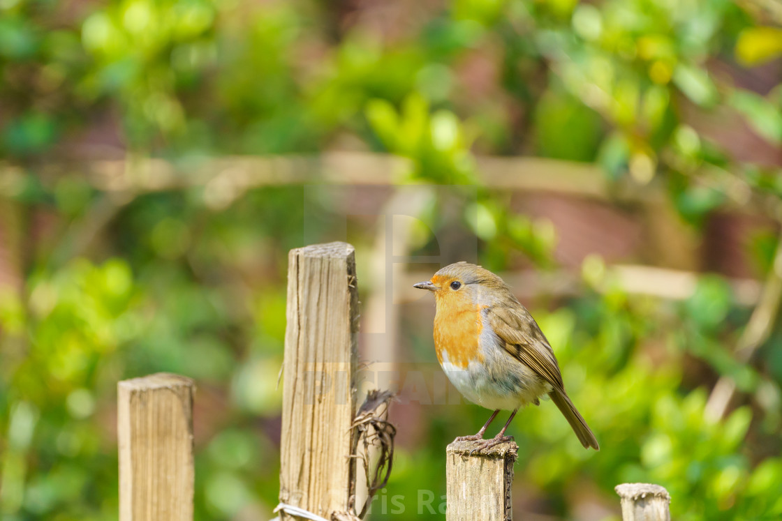 """European Robin (Erithacus rubecula) perched on a fence in summer, taken in..."" stock image"