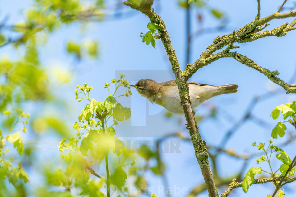 """Willow Warbler (Phylloscopus trochilus) taken in UK"" stock image"