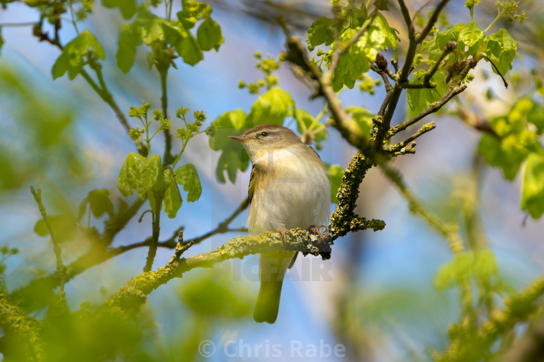 """Willow Warbler (Phylloscopus trochilus) taken in UK"" stock image"