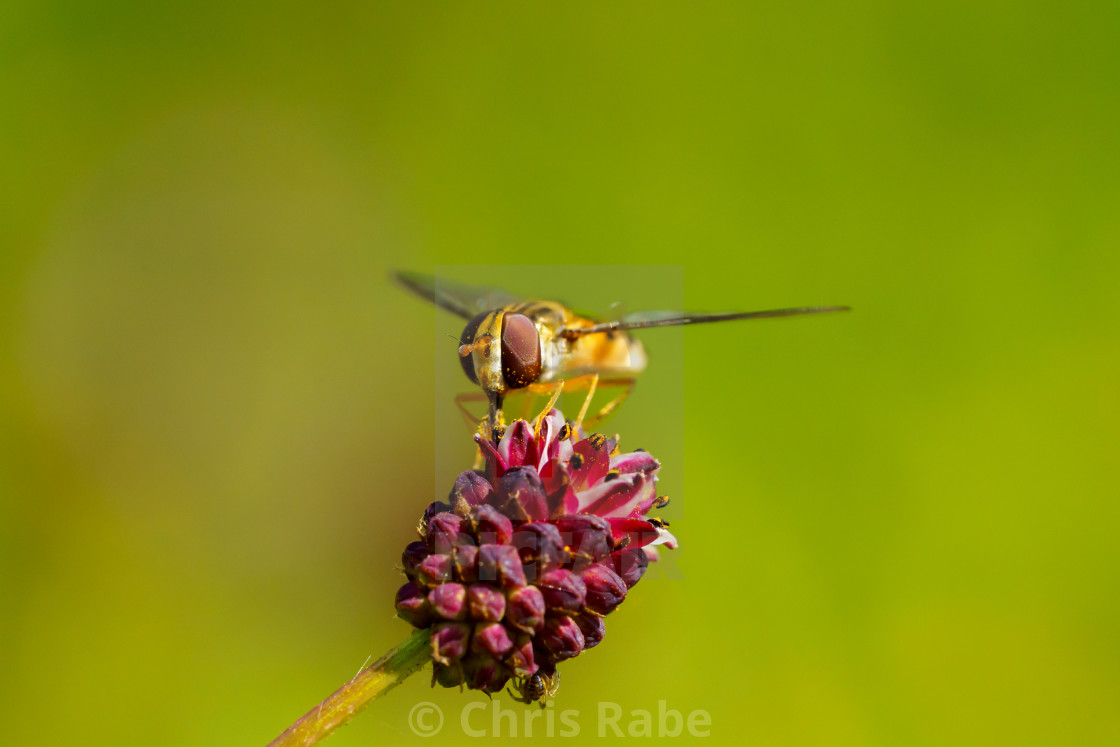 """Hoverfly (Eupeodes latifasciatus) in the UK"" stock image"