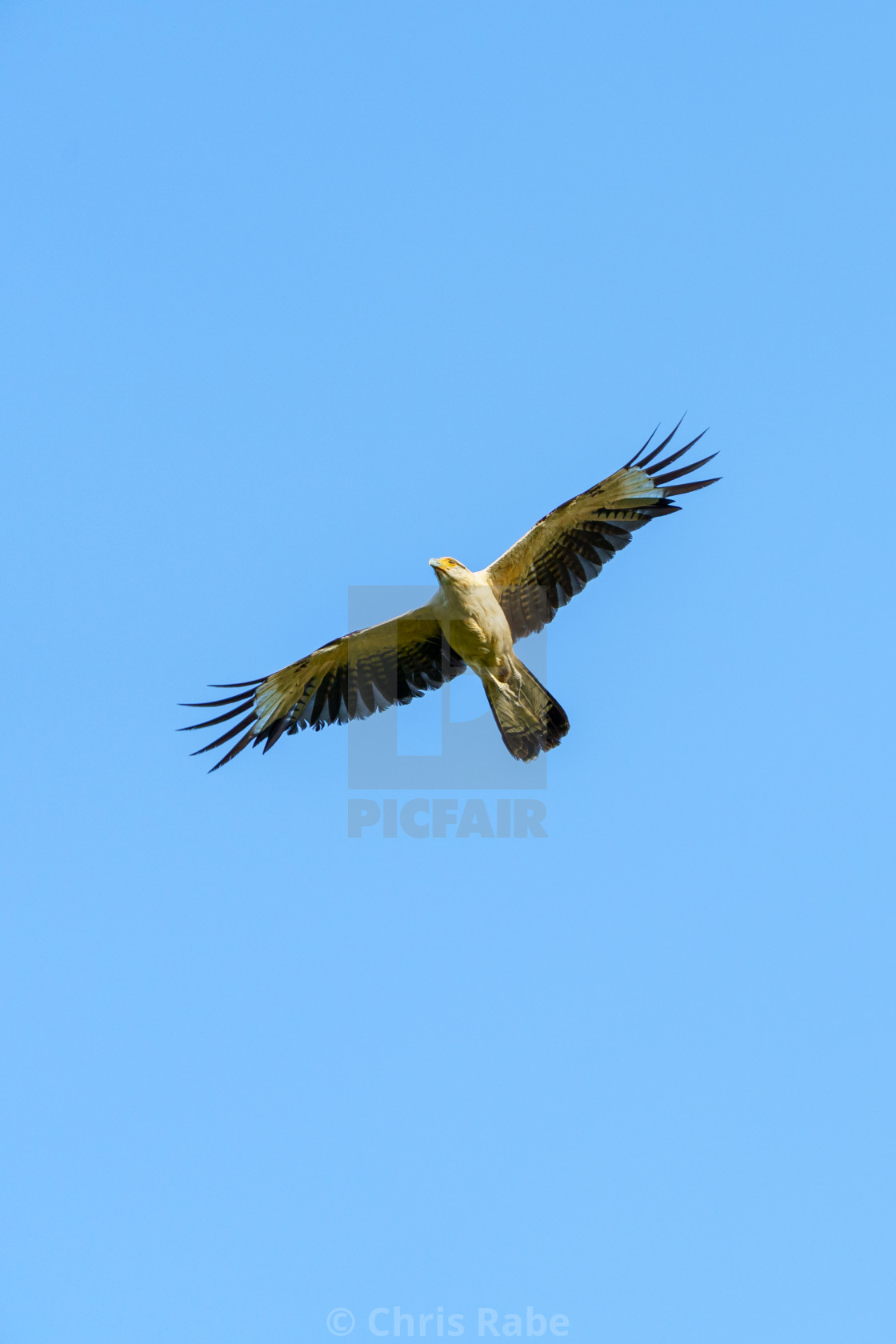 """Yellow-headed Caracara (Milvago chimachima) in Costa Rica"" stock image"