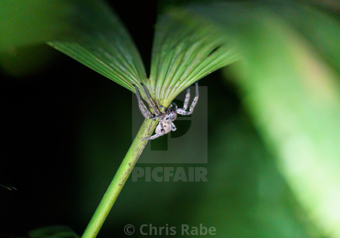 """Bronze Huntsman Spider in Costa Rica"" stock image"