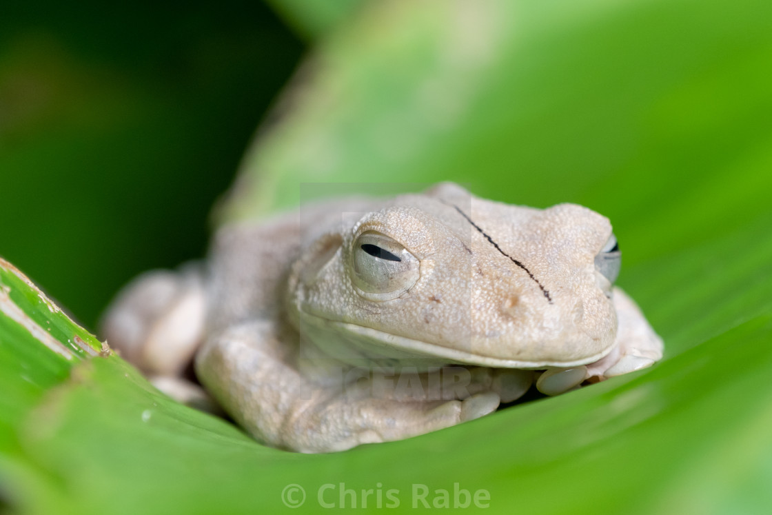 """Gladiator Tree Frog (Hypsiboas rosenbergi) in Costa Rica"" stock image"