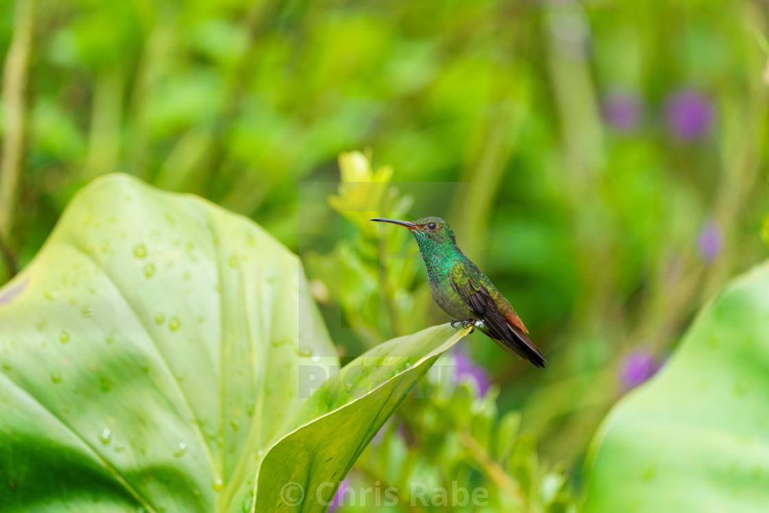 """Rufous-Tailed Hummingbird (Amazilia tzacatl), taken in Costa Rica"" stock image"