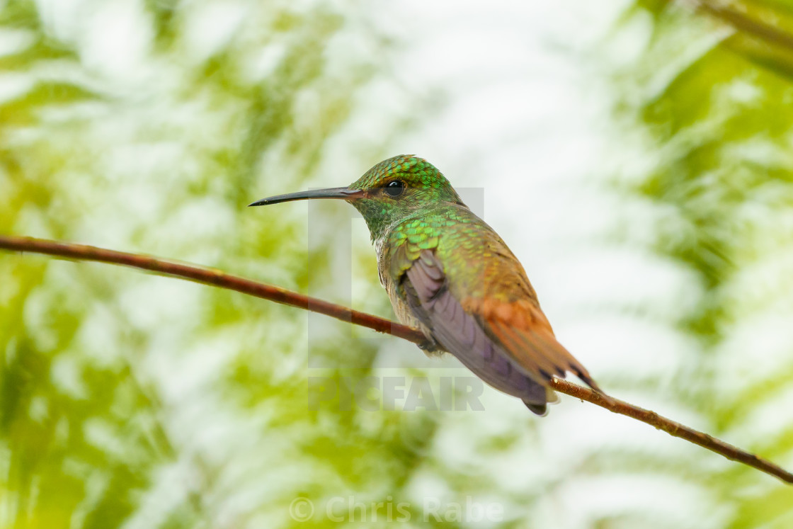 Rufous-Tailed Hummingbird (Amazilia tzacatl), taken in Costa Rica